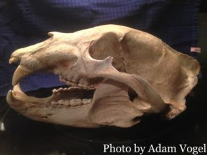 Photo of the black bear skull after drying 60 days. The black bear skull measured 1/16th of an inch bigger than the previous skull and is now the state record for black bear at 21 9/16 inches. The total weight of the black bear was 660 lbs
